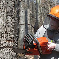 Man with safety helmet and face shield utilizing chainsaw to fell tree.