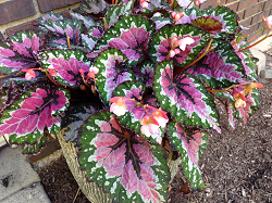 picture of a rex begonia plant
