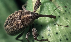 picture of a boll weevil insect
