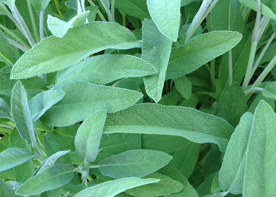 picture of sage leaves