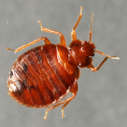 picture of an adult bed bug