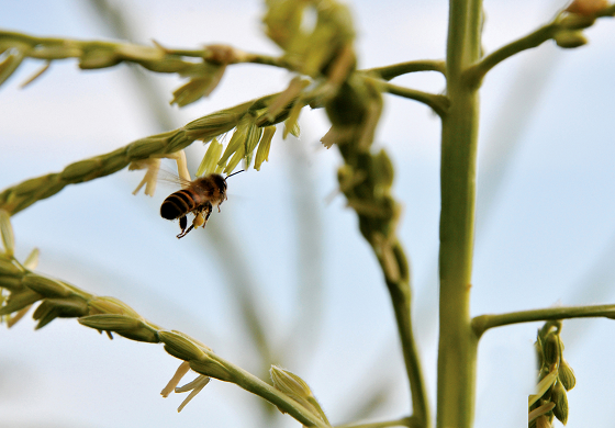 picture of a honeybee pollinating a plant