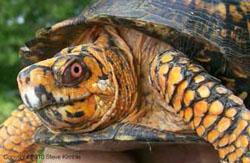 Box turtle, photo by Steve Kimble, Purdue University