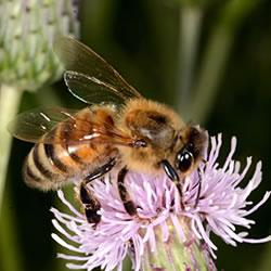Honey bee on thistle flower (Photo: John Obermeyer)