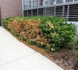 Yew bushes with winter damage.
