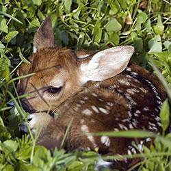 Deer fawn hiding in cover