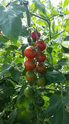 Tomatoes in high tunnel.
