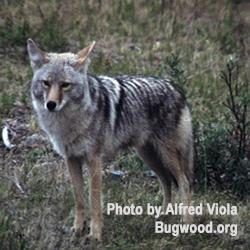 Coyote, photo by Alfred Viola, bugwood.org