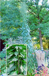 photo of a very tall plant in homeowner's garden
