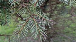 Blue spruce needles showing disease symptoms