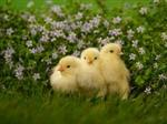 Baby Chicks and Flowers