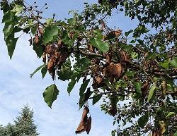 Pear tree afflicted with fire blight