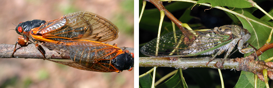 a periodical cicada on the left, and an annual cicada on the right