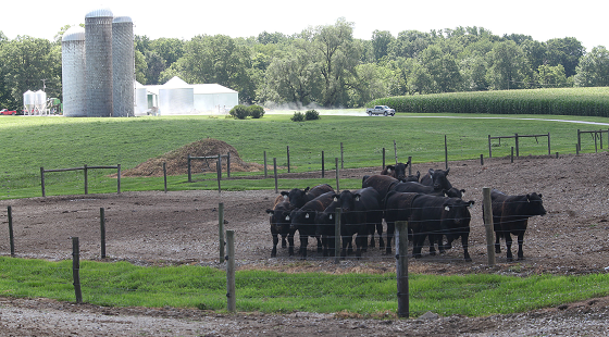 farm scene with cattle