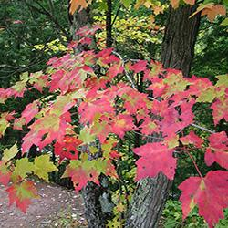 Red maple tree with red leaves for fall. Photo by: Lenny Far.ee