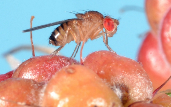 vinegar fly on berries