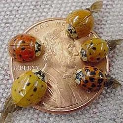Multicolored Asian lady beetles (Photo Credit: Tim Gibb/Purdue Entomology)