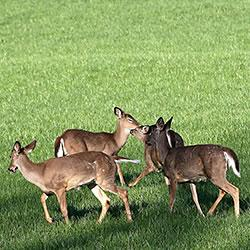 White-tailed deer browse in rural West Lafayette.