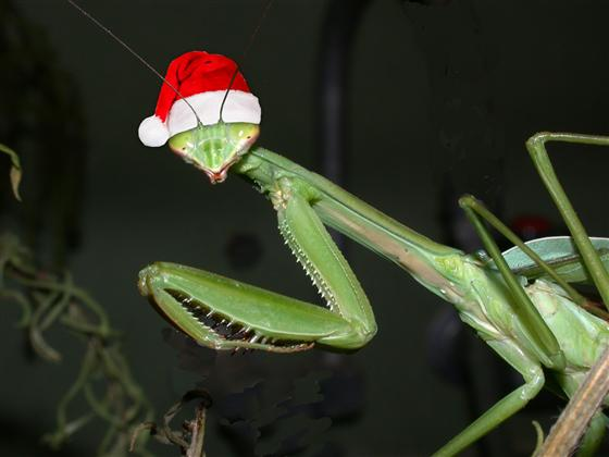 a praying mantis in a Santa hat