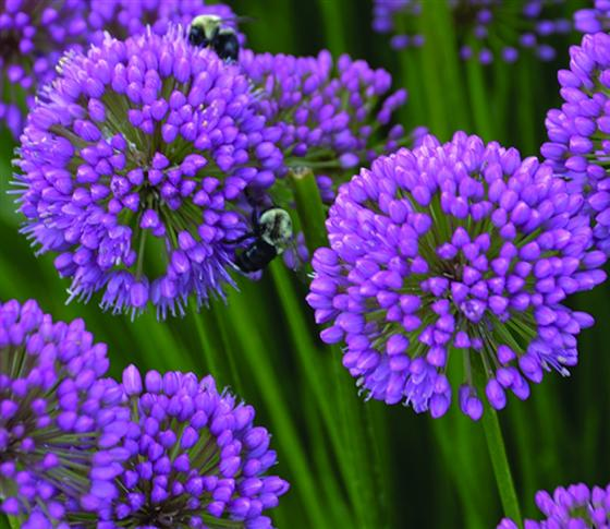 Allium 'Millenium' purple flower bloom