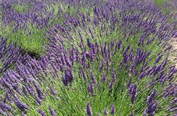 Lavender plants in bloom
