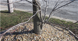A maple tree with mature upright root sucker.