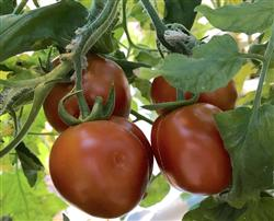 Salad or cocktail-size tomatoes are larger than cherry tomatoes and smaller than slicer tomatoes.
