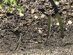 Asparagus spears emerge once soil temperatures reach about 50 degrees Fahrenheit