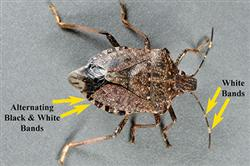 a stink bug with yellow arrows pointing to distinguishing characteristics