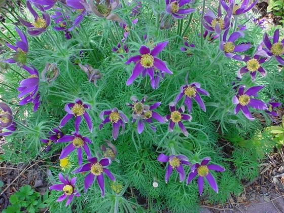 Pasque flower plant