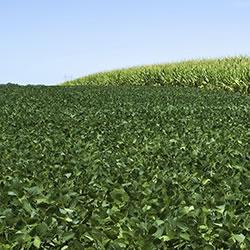 Corn and soybeans growing in the field.
