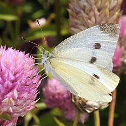 Cabbage white butterfly (Photo by John Obermeyer/Purdue Entomology)