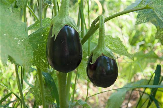 Eggplants at Purdue Student Farm