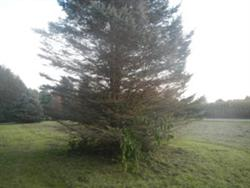 Damaged Blue Spruce