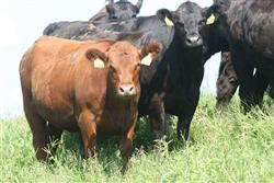 Cattle standing in field