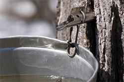 Maple Syrup Tap
