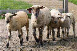 Picture of Sheep walking