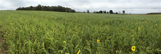 Eight-way cover crop mix