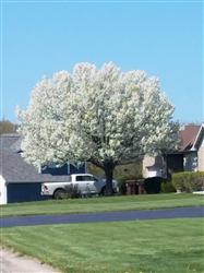 Pear tree blooming