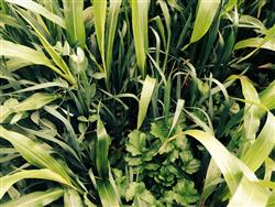 Four-way cover crop mix