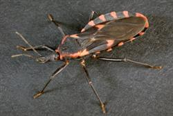 A kissing bug has a flat, somewhat cup-shaped abdomen.