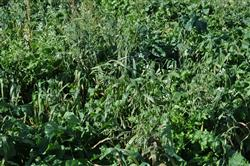 Prevent Plant Cover Crops