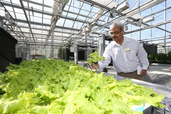 Man looks at lettuce growing in a hydroponic greenhouse.