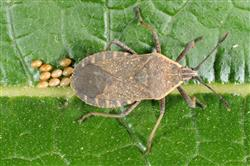 Squash bug adult and egg cluster