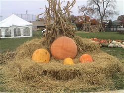 This is a picture of the giant pumpkins we grew for the boo at the zoo
