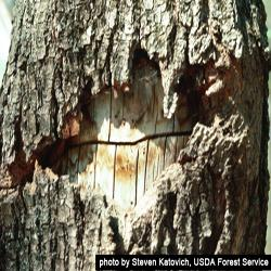 Tree with sugar maple borer damage.