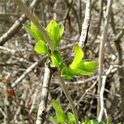 Invasive Asian bush honeysuckle species