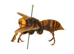 Asian giant hornet; Photo credit: Washington State Department of Agriculture