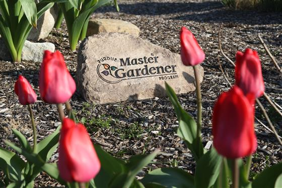 Photo of decorative rock with red tulips around it.  The rock reads Purdue Extension Master Gardener