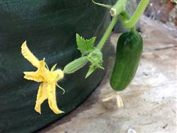 Cucumber fruit and flower